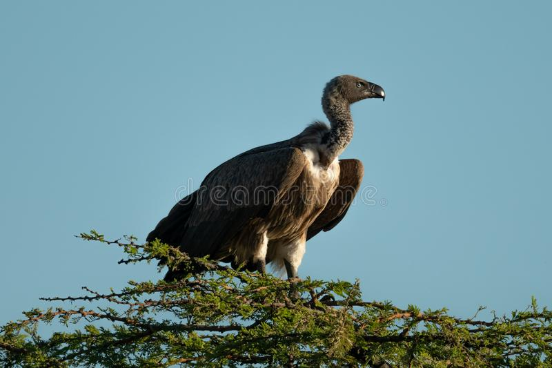 African white-backed vulture perches atop leafy tree stock images