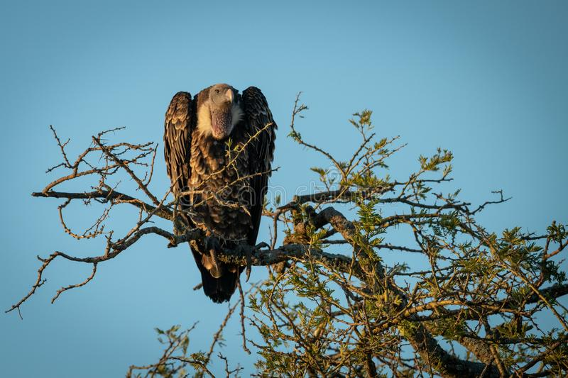 African white-backed vulture perches in golden light stock photo