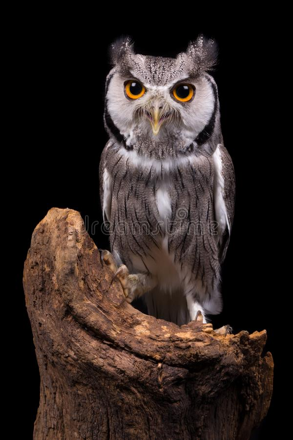 Download African White Faced Owl On Black Stock Photo - Image of faced, black: 104396310
