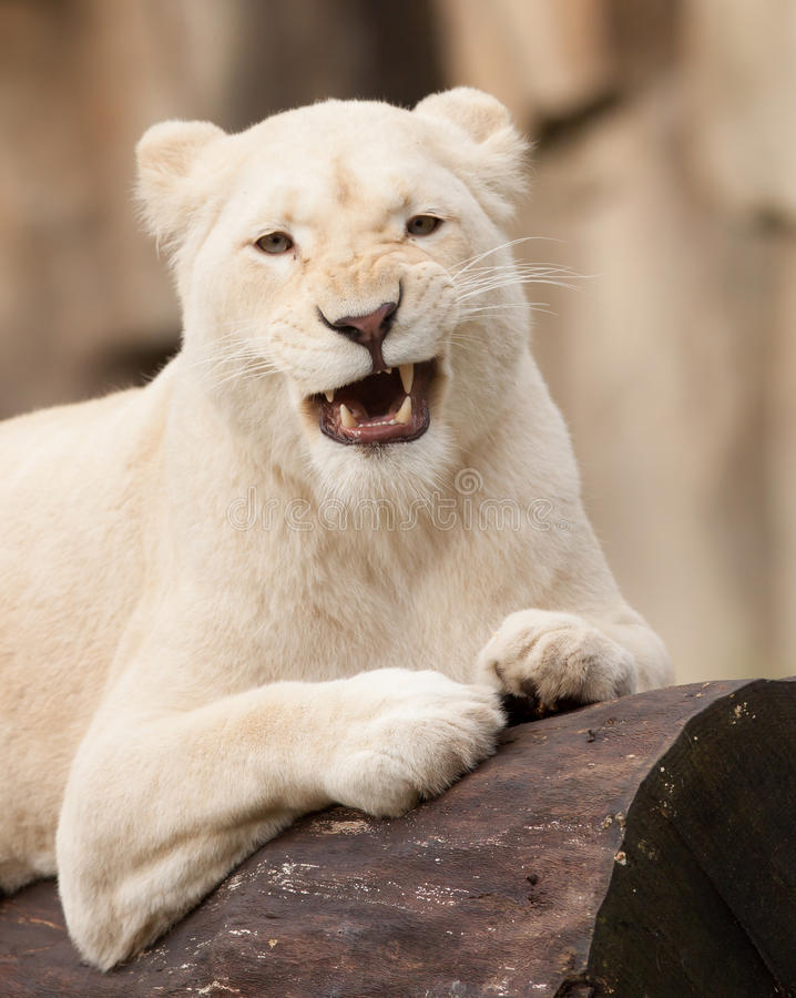 Download African white lion stock image. Image of animal, nature - 27531037