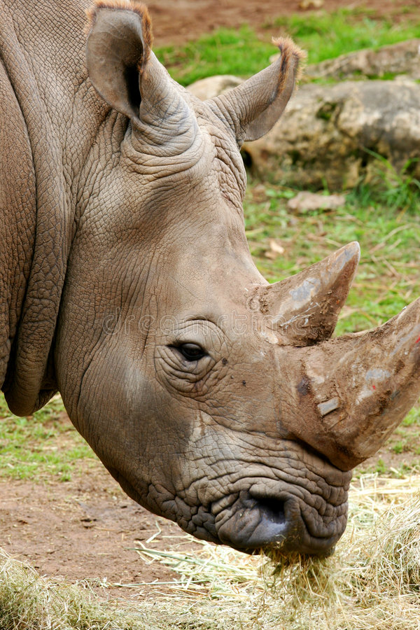 African White Rhino. A shot of an African White Rhino royalty free stock photos
