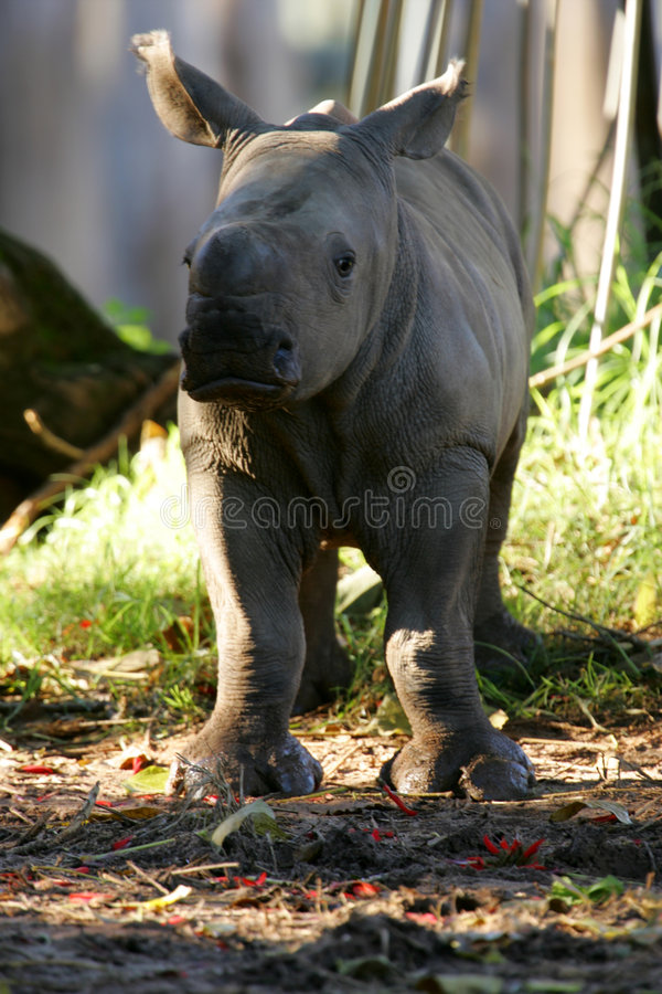 African White Rhino. A shot of an African White Rhino stock image