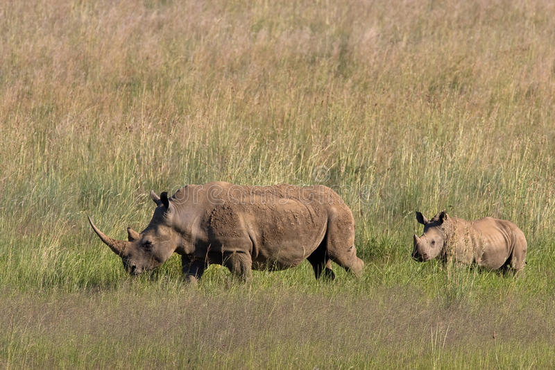 African White Rhino. And calf walking through the grass in Pilanesberg nature reserve stock image