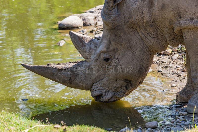 African white rhino. While drinking stock image