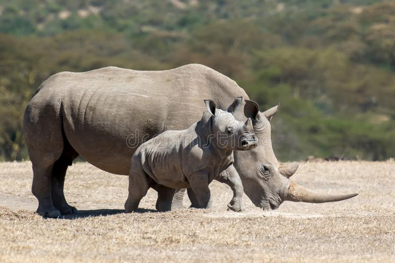African white rhino stock images