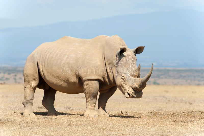 African white rhino stock photo