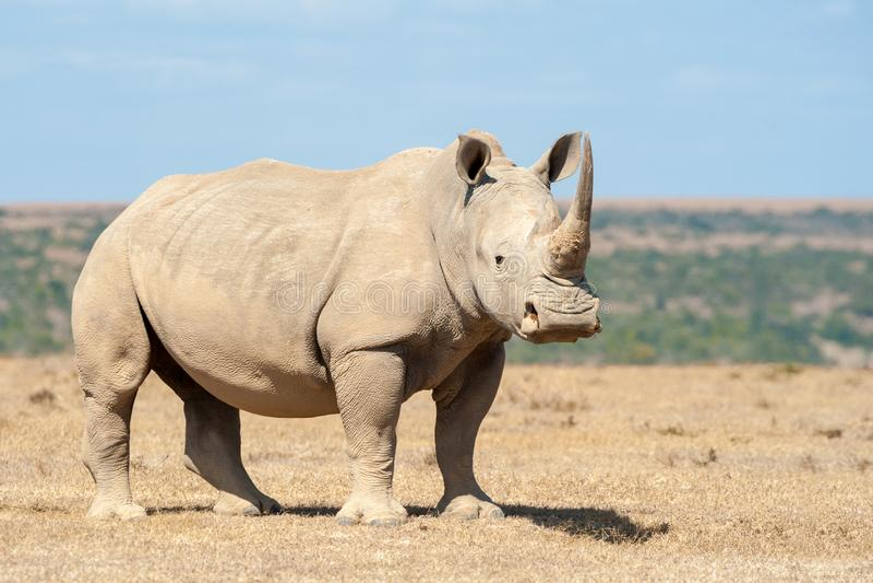 African white rhino royalty free stock image