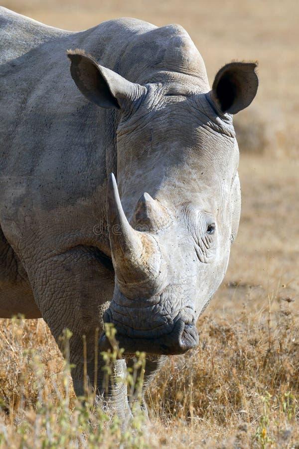 African white rhino. National park of Kenya royalty free stock photos