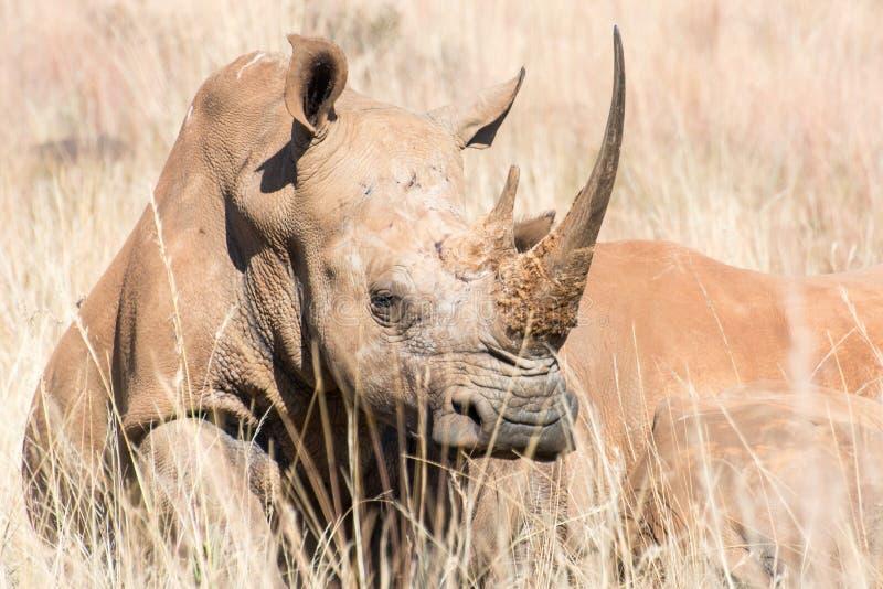 African white rhino. White rhino basking in the African winter sunshine royalty free stock photos