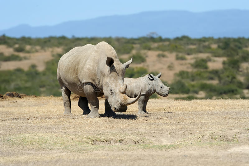 African white rhino. National park of Kenya stock image