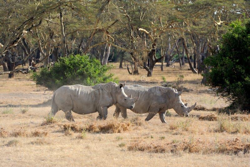 African white rhino. National park of Kenya stock photos