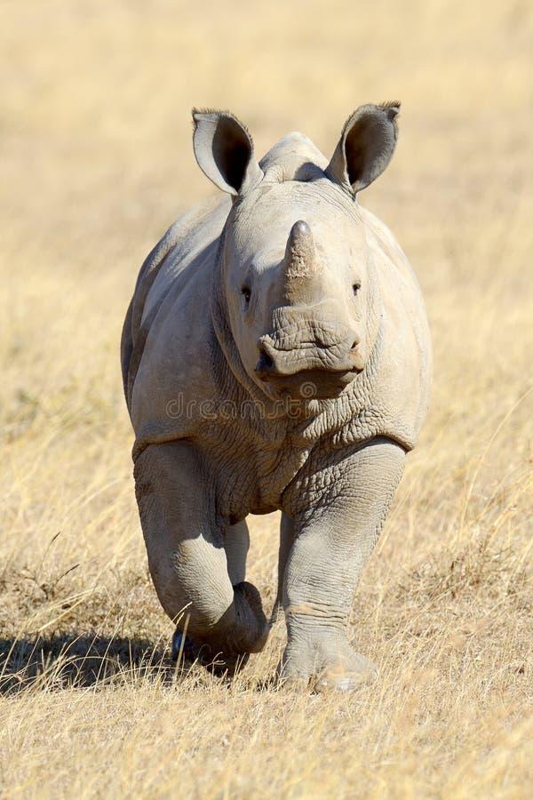 African white rhino. National park of Kenya royalty free stock image