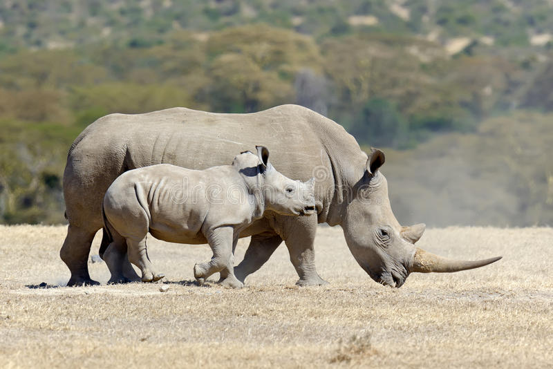 African white rhino royalty free stock photos