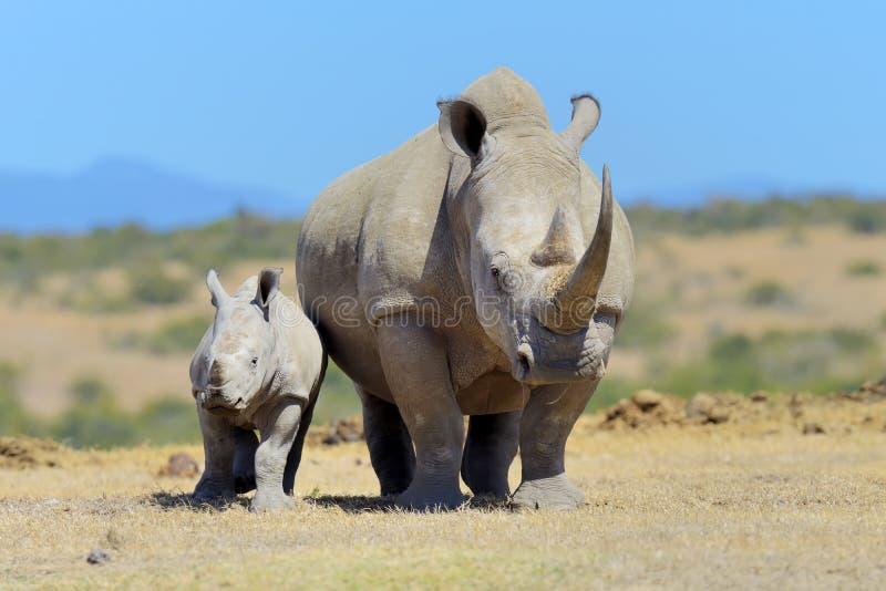 African white rhino. National park of Kenya, Africa royalty free stock image
