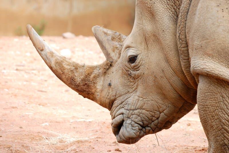African White Rhino Portrait stock photos