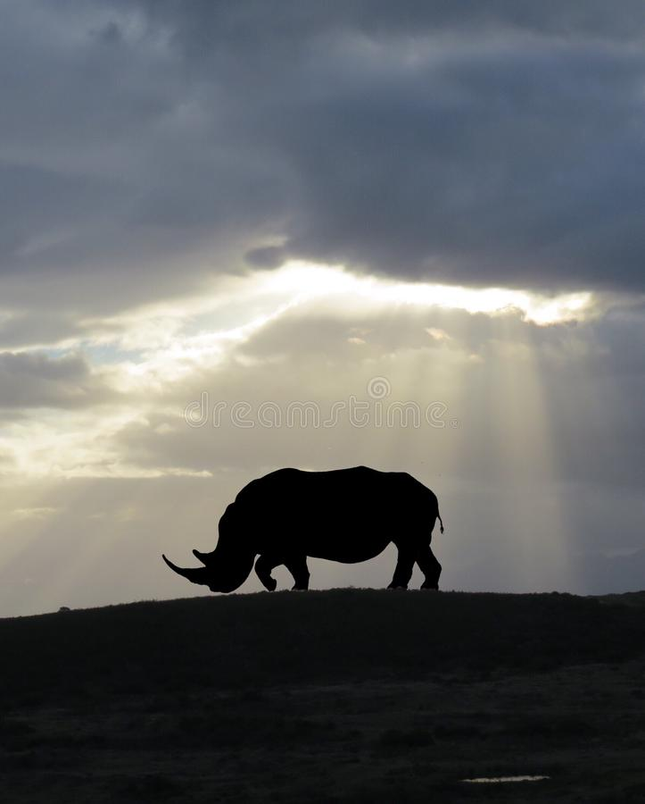 African White Rhino Silhouette royalty free stock images