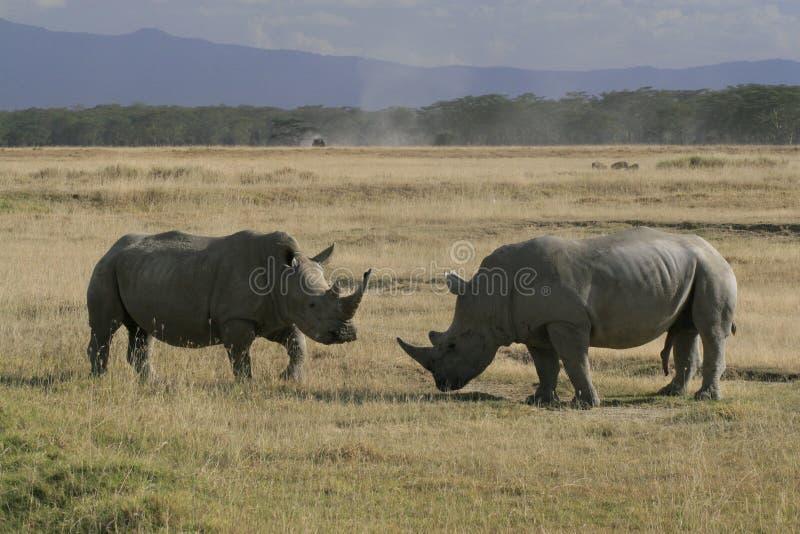 Pair African White Rhino, square-lipped rhinoceros, Lake Nakuru, Kenya. African White Rhino, square-lipped rhinoceros, Lake Nakuru, Kenya royalty free stock photo