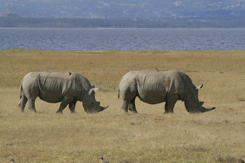 Pair African White Rhino, square-lipped rhinoceros, with birds on the back. Lake Nakuru, Kenya. African White Rhino, square-lipped rhinoceros, Lake Nakuru stock image