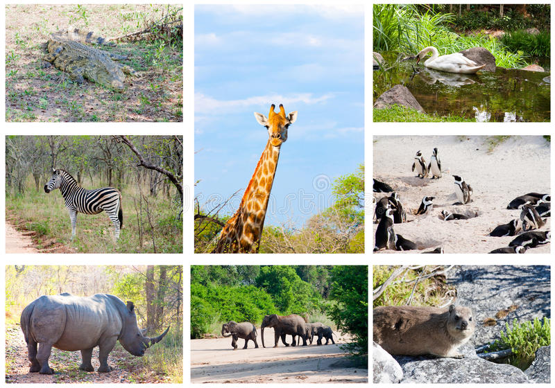 Download African Wild Animals Collage, South Africa Stock Image - Image: 28597881