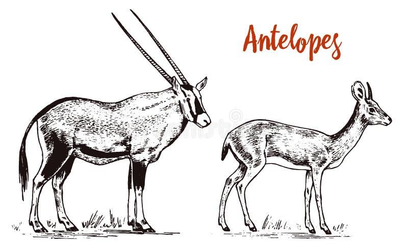 African wild antelope, deer or doe. Orix gemsbok and dik-dik. An animal in a safari. Vintage Mammal, Engraved hand drawn. Old monochrome sketch for label vector illustration