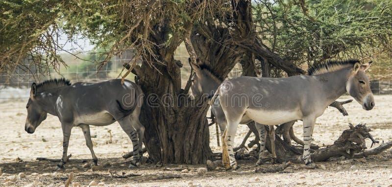 Somali wild in Israeli nature reserve royalty free stock photos