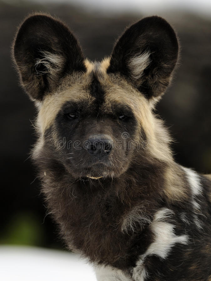 Download African Wild Dog Royalty Free Stock Photography - Image: 17775257