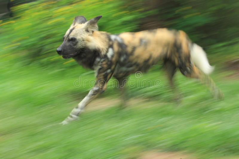 Download African wild dog stock image. Image of canid, nature - 25215095