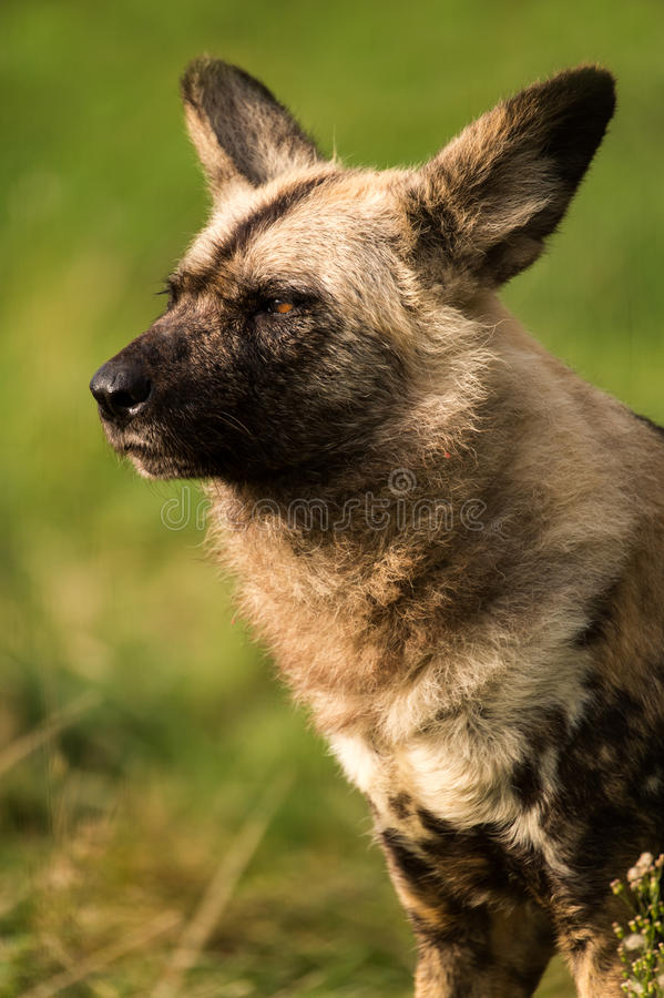 Download African Wild Dog stock image. Image of predator, painted - 27252627
