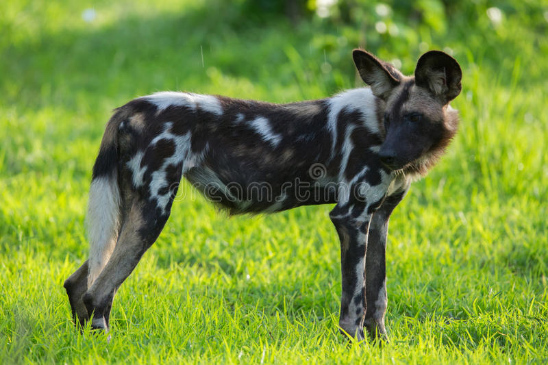 Download African Wild Dog stock photo. Image of canid, lycaon - 28609188
