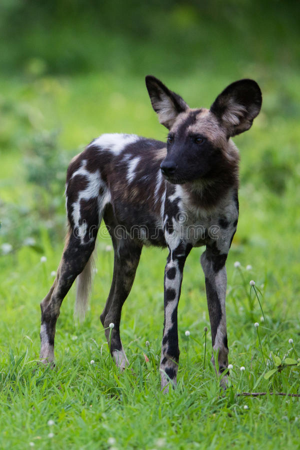 Download African Wild Dog Royalty Free Stock Images - Image: 28609279