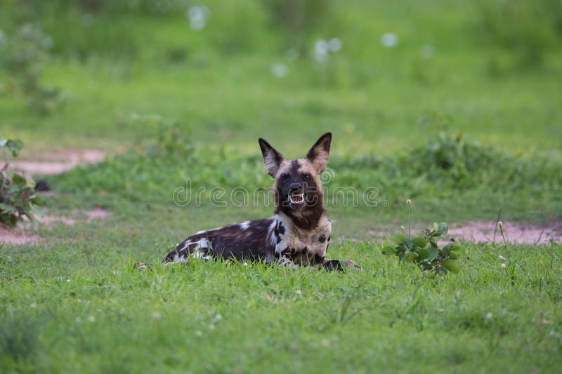 Download African Wild Dog stock image. Image of canid, canivora - 28609307