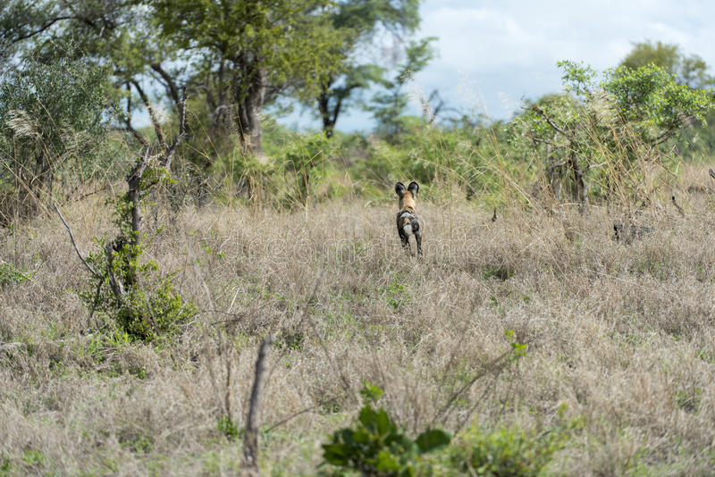 Download African Wild Dog stock image. Image of animal, african - 28809613