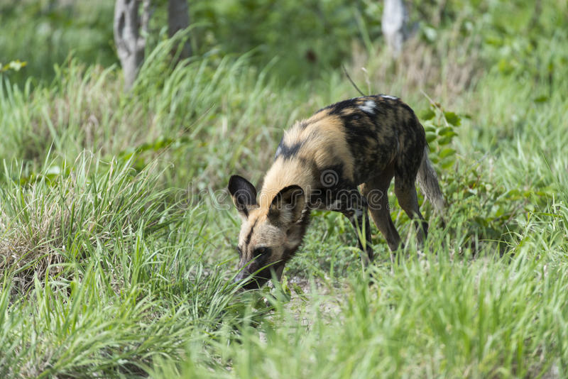 Download African Wild Dog Stock Photo - Image: 28809620