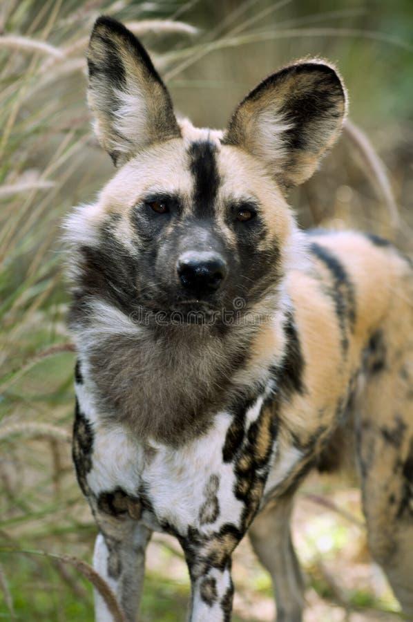 African wild dog stock photos