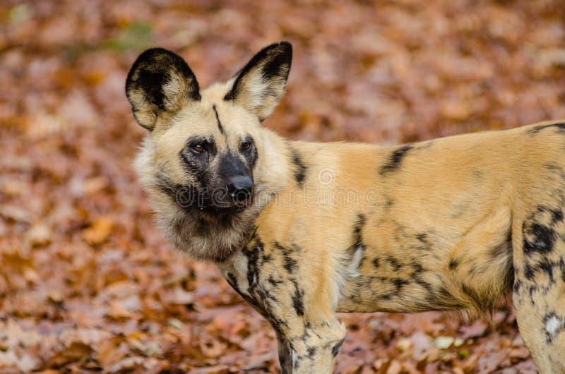 African wild dog stock image