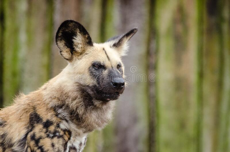 African wild dog royalty free stock photo