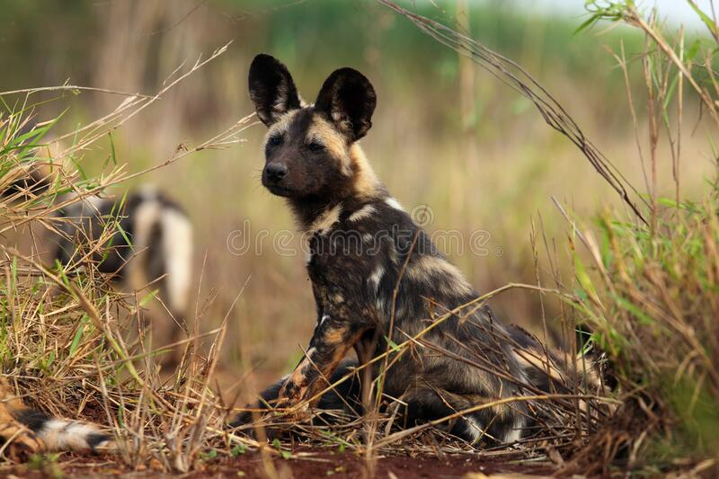 African wild dog, African hunting dog, or African painted dog Lycaon pictus two frolicking puppies. The African wild dog, African hunting dog, or African painted stock images