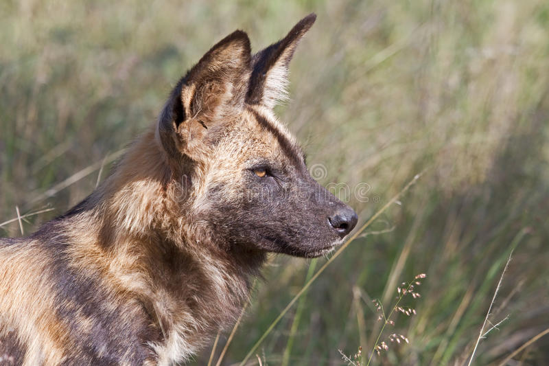 African Wild Dog alpha male. An endangered African Wild Dog (Painted Wolf/Cape Hunting dog) alpha male standing alert in the Madikwe Game Reserve, South Africa royalty free stock photos