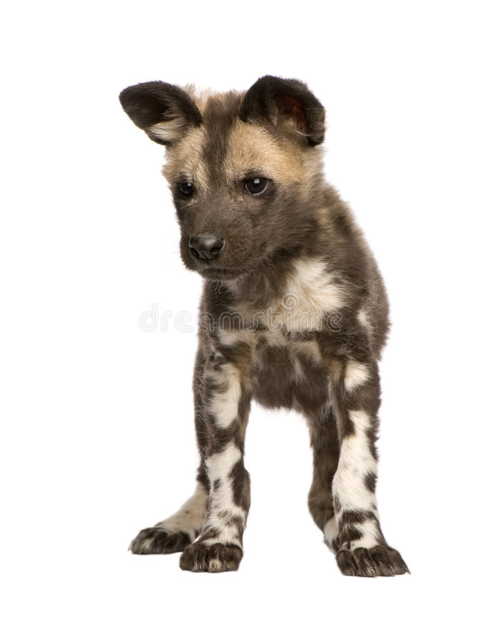 Download African Wild Dog Cub (9 Weeks) - Lycaon Pictus Stock Image - Image: 5877313