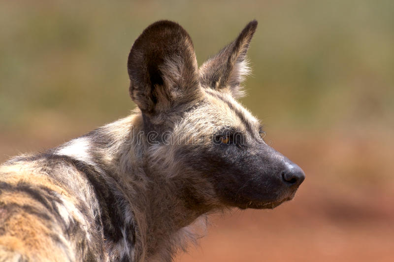 African Wild Dog (Hunting Dog). African Wild dog 10 out of 10 kill rate, very skilled hunters, each member of the pack knowing his position for the attack royalty free stock images