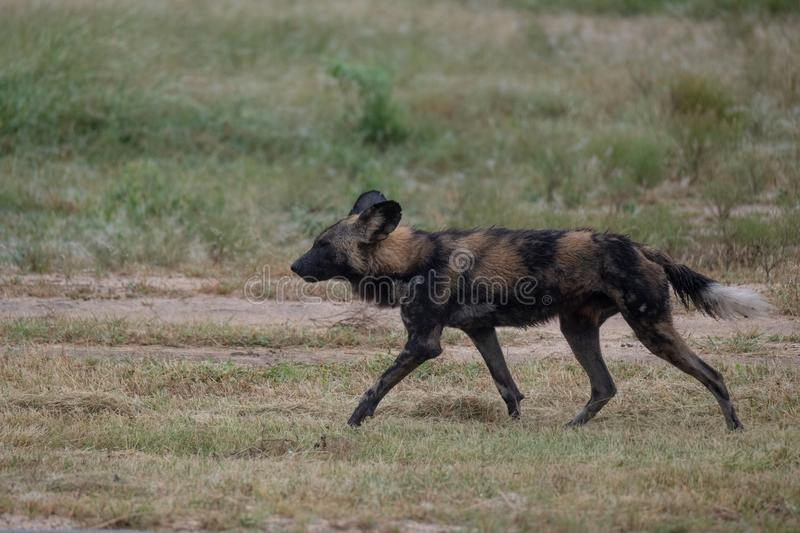 African wild dog, part of a larger pack at Sabi Sands Reserve, Kruger, South Africa. Sightings are extremely rare. African wild dog, photographed at Sabi Sands royalty free stock images
