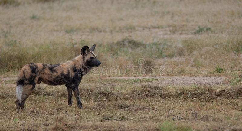 African wild dog, part of a larger pack at Sabi Sands Reserve, Kruger, South Africa. Sightings are extremely rare. African wild dog, photographed at Sabi Sands royalty free stock photo