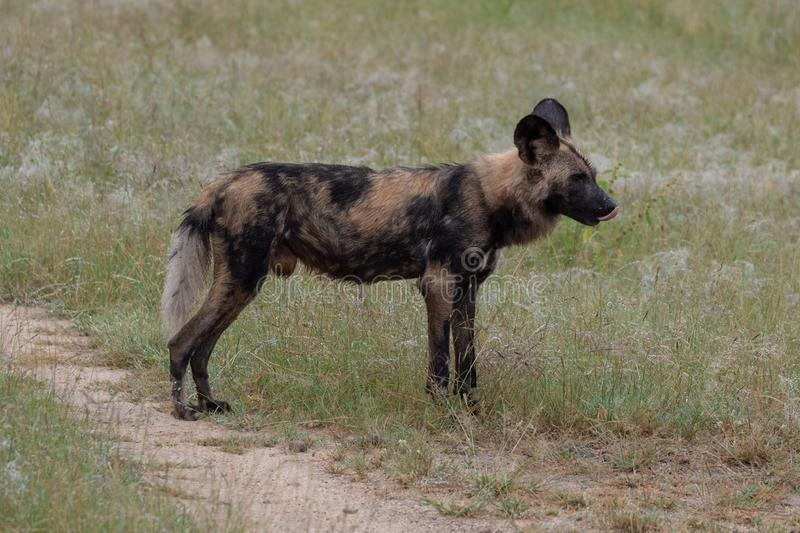 African wild dog, part of a larger pack at Sabi Sands Reserve, Kruger, South Africa. Sightings are extremely rare. royalty free stock photos