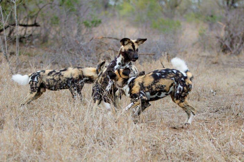 African Wild Dog In Kruger National Park. African Wild Dog playing in the south of the Kruger National Park in South Africa stock photos