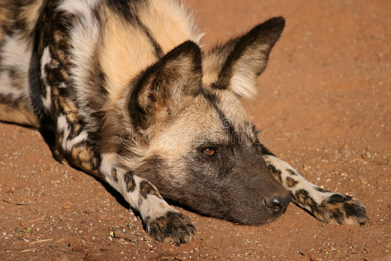 Download African wild dog stock image. Image of mammal, fauna - 38851511