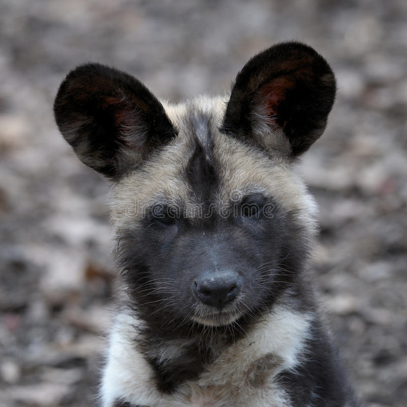 African wild dog pup portrait stock images