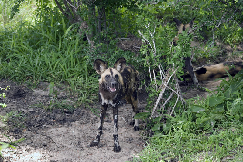 African wild dog, Selous National Park, Tanzania royalty free stock photography