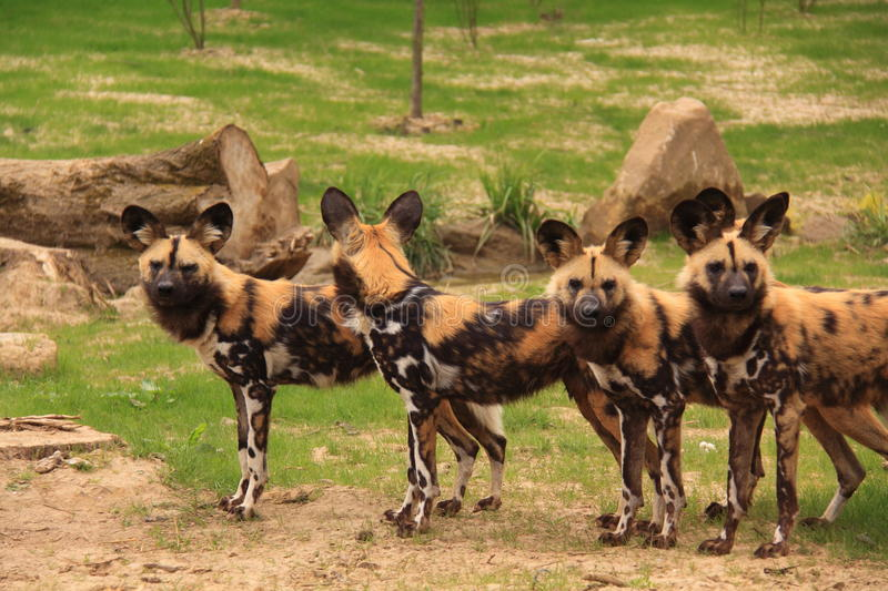 African painted wild dogs royalty free stock photography