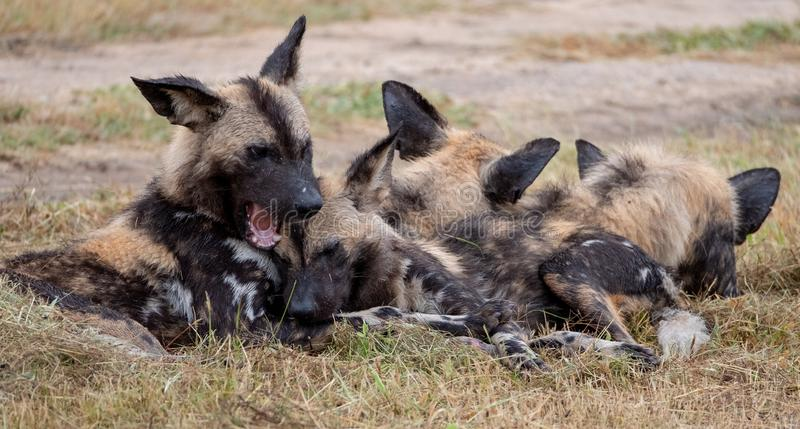 African wild dogs, part of a larger pack at Sabi Sands, South Africa. Sightings are extremely rare. African wild dogs playing, photographed at Sabi Sands Game stock image