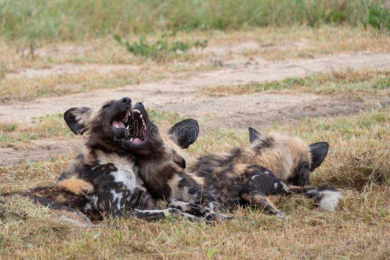 African wild dogs playing, part of a larger pack at Sabi Sands Reserve, Kruger, South Africa. Sightings are extremely rare. African wild dogs, photographed at royalty free stock image
